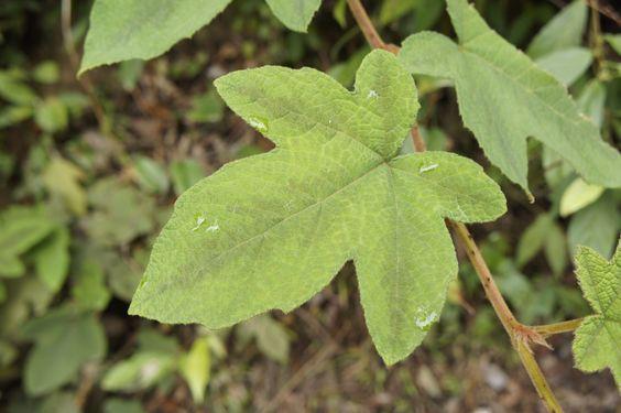 銹毛莓 / Rubus reflexus