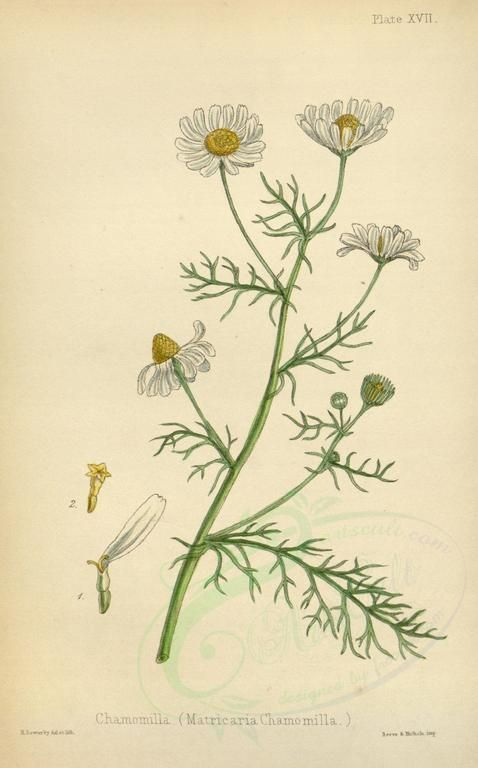 Die Kamille ist wohl die bekannteste Heilpflanze und war schon im alten Ägypten und Griechenland hoch geschätzt. Finde heraus, wie du ihre Heilkräfte richtig nutzt.