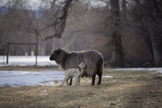 Montana's Spring Lambs - Just minutes old, a newborn lamb rests up against its mother. Credit: Catherine Yrisarri | © The Weather Channel
