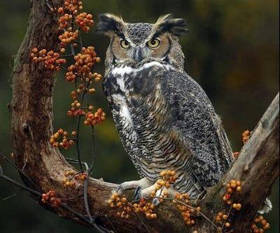 صور بومة تحب أن تقف على رؤوس البشر في هولندا Raej الحياة - Meet the cuddly owl who loves landing on people