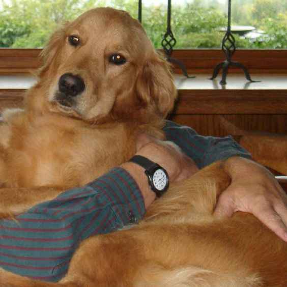 Goldens are lap dogs