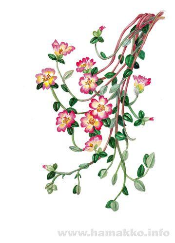 Botanical Art, Botanical painting, Flower painting. Portulaca, rose moss