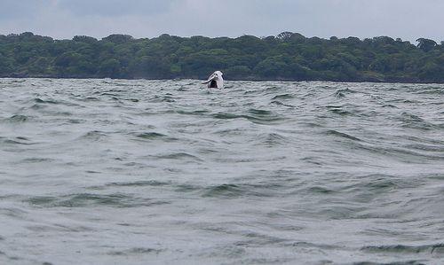 Whale. Colombian pacific coast. Ballenas en Juanchaco - Valle - Colombia.