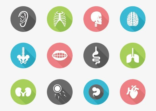 Human Anatomy Icon Human Vector Icon Vector Png Transparent Clipart Image And Psd File For Free Download Human Vector Heart Vector Design Hospital Icon