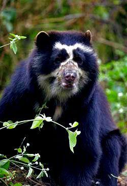 """Resultado de imagen de oso autóctono llamado """"de anteojos"""""""