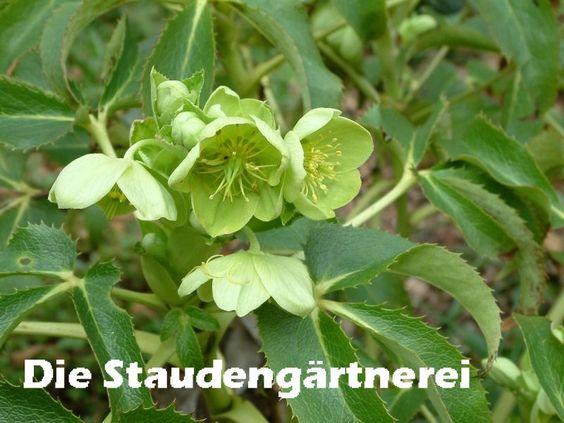 Helleborus argutifolius, 3,50 €, Die Staudengärtnerei - Der Stau