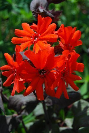 Maltese Cross Orange Gnome Lychnis Arkwrightii Orange Scarlet