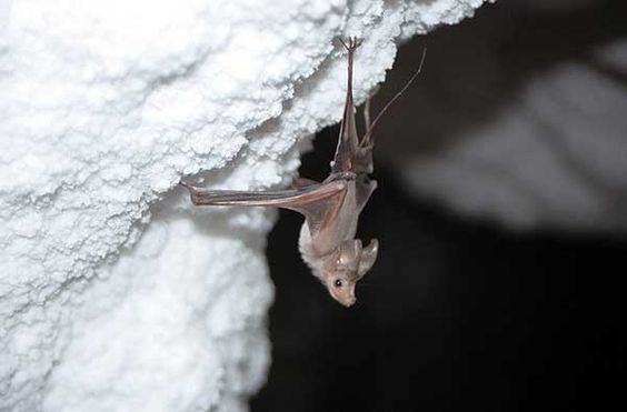Rhinopoma hardwickii – the most common inhabitant of the 3N Cave. Photo by M. Filippi