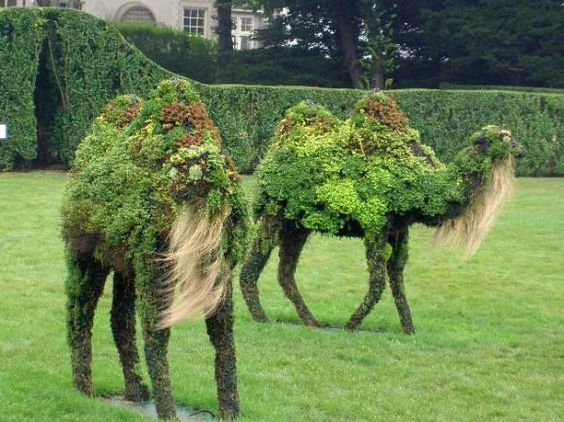 Topiary camels...