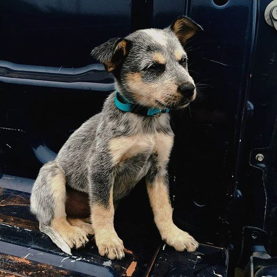 blue heeler ♡ . . . . . . .  #dog #dogs #puppy #pup #pet #pets #animal #animals #InstaTags4Likes #cute #dogs_of_instagram #petstagram #petsagram #dogsitting #photooftheday #dogsofinstagram #ilovemydog #instagramdogs #nature #dogstagram #dogoftheday #picpets #lovedogs #lovepuppies #blueheeler #adorable #doglover #instapuppy #instadog