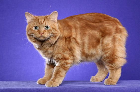 The Cymric cat breed is known for its intelligence and fun-loving personality.
