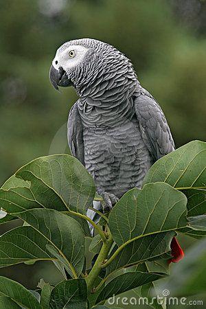 Wild African Grey parrot in tree