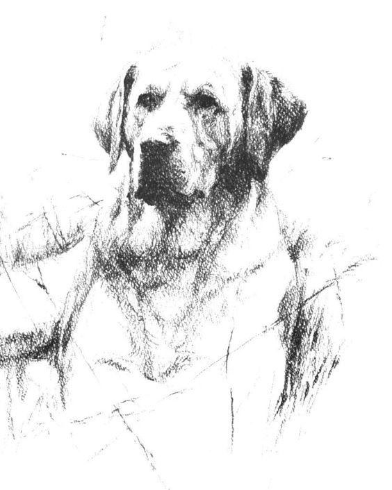 Labrador Retriever (pencil sketch) by Rien Poortvliet