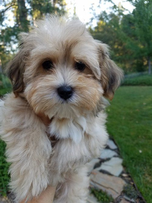 Puppies California Havanese Havanese Puppies Havanese Dogs Cute Dogs And Puppies