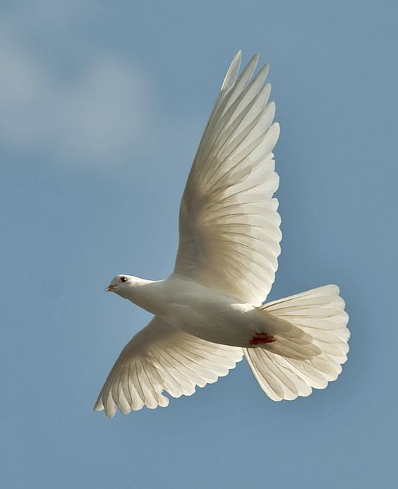 #white doves #birds #animals -White dove in flight
