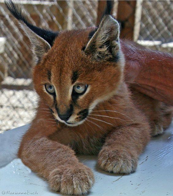 Wild Desert Lynx - Marianne Bush