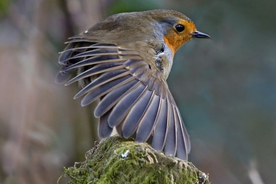 Robin - Erithacus rubecula | Flickr - Photo Sharing!