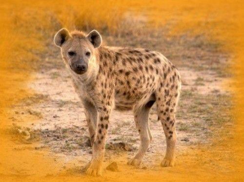 صور ضبع ومعلومات كاملة عن الضباع Animals Hyena Animal Facts