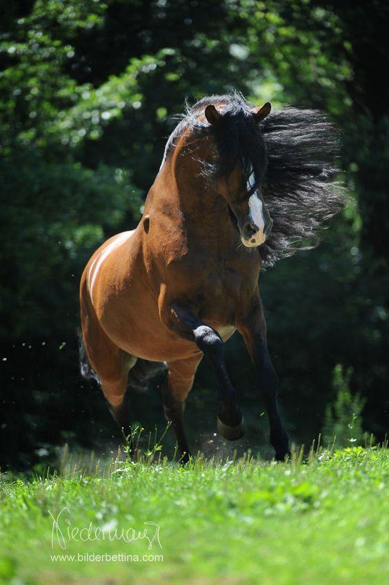 Andalusier/PRE - Pferdefotografie, Hundefotografie, Fotografie Bettina…