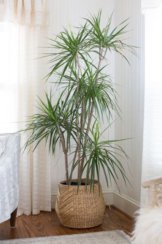 Dracaena Plant Care - How to Grow & Maintain Dracaena Plants | Apartment Therapy