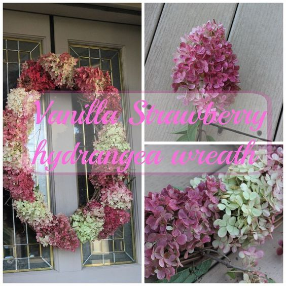 Here is a tutorial for a hydrangea wreath.  Made out of my most favorite hydrangea. It's a vanilla strawberry hydrangea.  Have you seen these? They start out white then end up getting pink then reddish. I love them! Here is what they look like around early-mid August. See, still mainly white but getting … … Continue reading →
