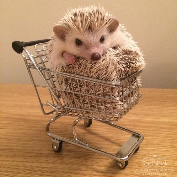"""From @pebbles.hedgehog: """"Because the only thing you need when shopping is a hedgehog!"""" #cutepetclub by cutepetclub"""