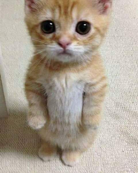 Pinterest Aalaaaatya Cute Animals Kittens Cutest Cute Cats