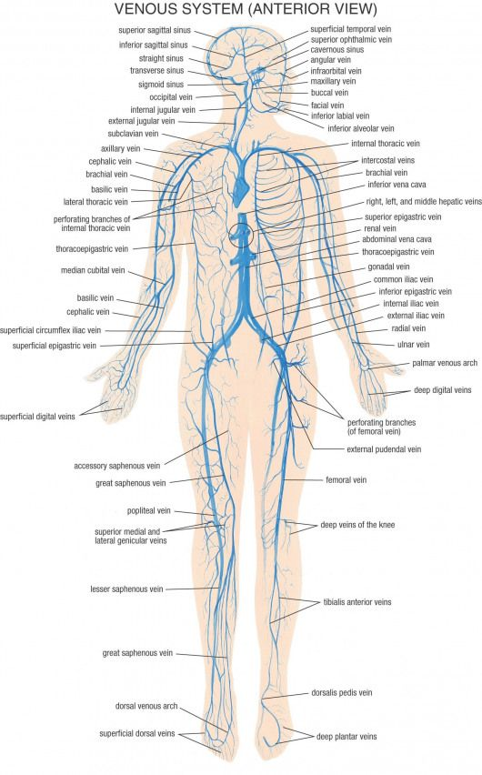 Venous System Anterior View Anatomy Psoasrelease Nervous System Anatomy Medical Anatomy Muscle Anatomy