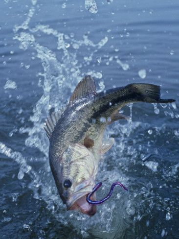 Largemouth bass with plastic worm jumping beautiful for Bass fishing worms