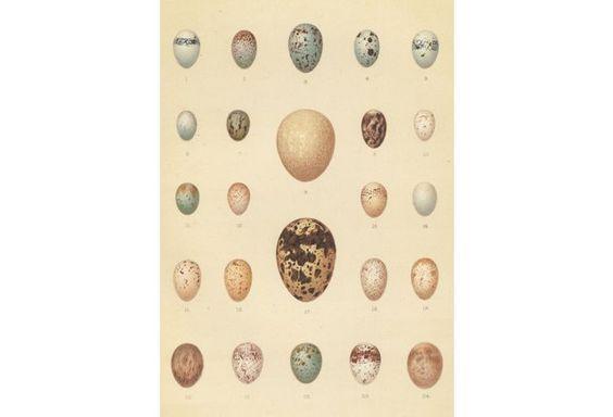 Variety of Bird Eggs, 1910