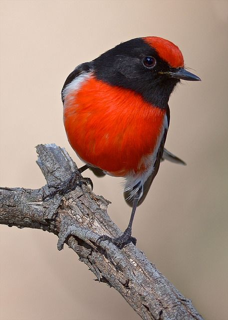 Red Capped Robin (Petroica goodenovii) is a small passerine bird native to Australia. Found in drier regions across much of the continent, it inhabits scrub and open woodland.
