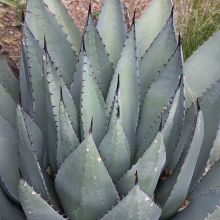 Agave for sale,buy Century Plant,Century Plant,Agaves,Agave plant