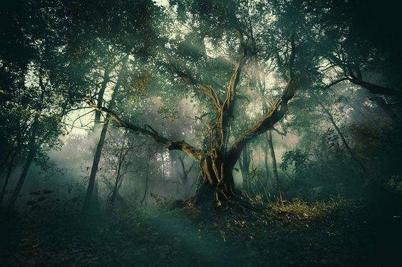 Un viejo olivo, en lo profundo del bosque en el sur de Francia