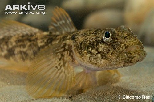 Arno Goby (Padogobius nigricans)