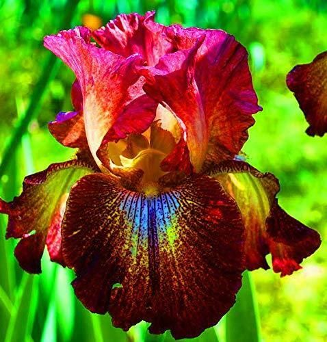 Details About Bearded Iris Red Flowering Plant Bulbs Perennial