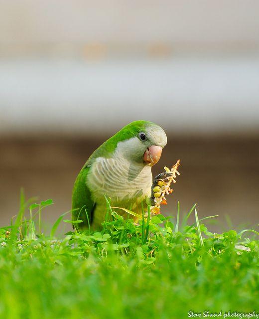monk parakeet1 by SteveShandPhoto, via Flickr:
