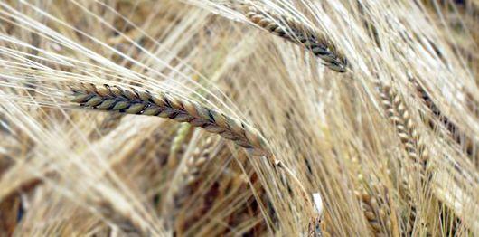 Pregon Agropecuario :: ¿SE PODRÍA AUMENTAR EL RENDIMIENTO DE LOS CEREALES MODIFICANDO SU GEOMETRÍA? - Cereales - Trigo