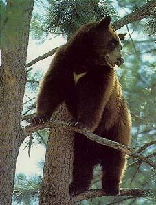 Both black bears and grizzlies can be brown, but no grizzlies live east of the Rocky Mountains. <+>