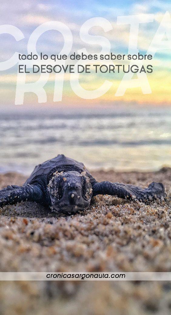 Toda la información sobre el desove de la tortuga verde en Costa Rica. Precios, tours y temporadas.