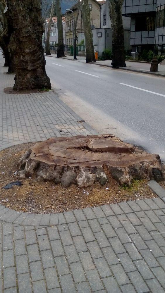 120 years tree PLATAN cut off. Enter.ba foto archive Mostar Herzegovina Bosnia. #bigtree #centurytree #oldtree #stump  #rots #woodenrings
