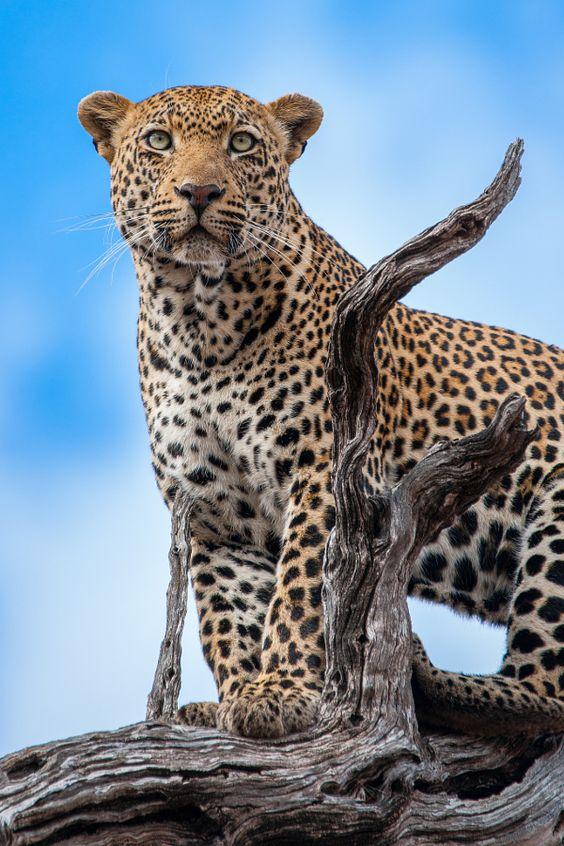 beautiful leopard poses