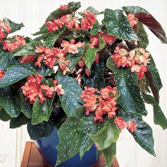 Begonia 'Tom Ment' (Begonia fibrous hybrid)