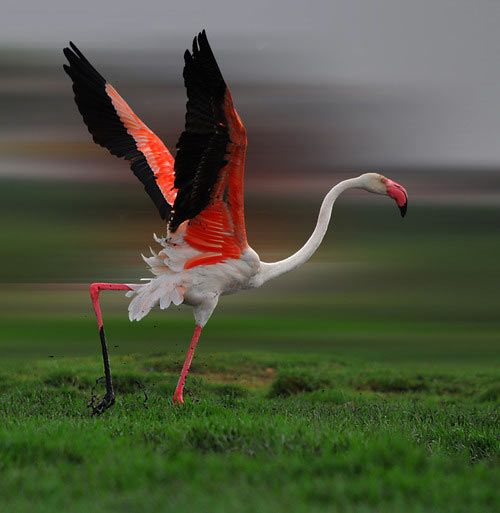The greater flamingo (Phoenicopterus roseus) is the most widespread species of the flamingo family - found in parts of Africa, southern Asia (Bangladesh & coastal regions of Pakistan & India), the Middle East (Cyprus, Israel) & southern Europe (including Spain, Albania, Greece, Turkey, Portugal, Italy & France).