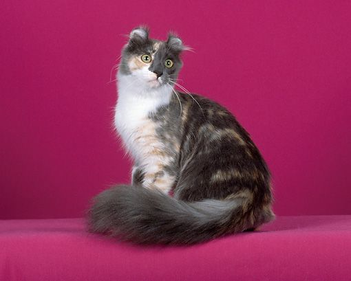 Image Result For American Curl Cat Calico American Curl Character Design Cats