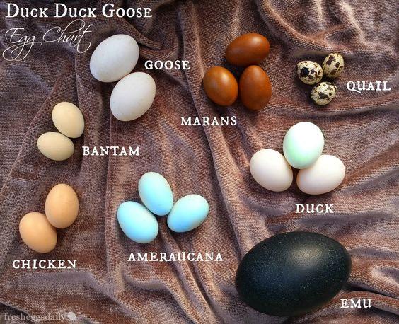 Fresh Eggs Daily® Egg Identification Chart (Chicken, Duck, Goose