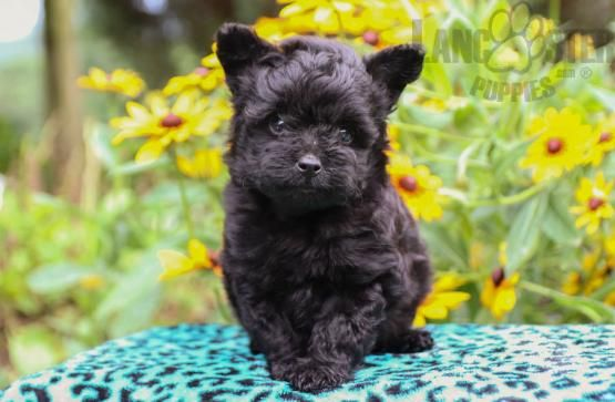 Sugar Pomsky Mix Puppy For Sale In Sunbury Pa Lancaster Puppies Puppies For Sale Puppies Lancaster Puppies