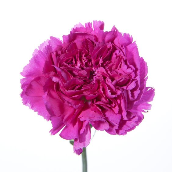 Fushia carnation