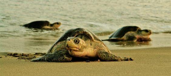 1.5 millones de nidos de tortuga golfina (Lepidochelys olivácea) en Oaxaca - http://verdenoticias.org/index.php/blog-noticias-diversidad-biologica/291-1-5-millones-de-nidos-de-tortuga-golfina-lepidochelys-olivacea-en-oaxaca
