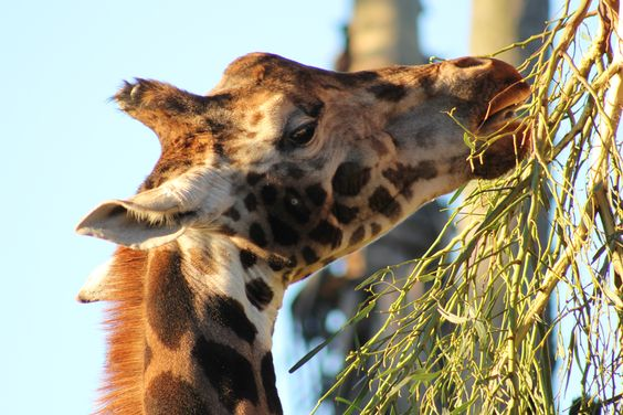 Last shot from Melbourne Zoo today (7 July 2012). The always photogenic Giraffe :)