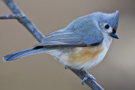 blue tufted titmouse - Google Search